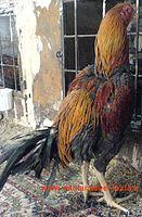 خروس لاری بسیار اصیل طوسی قرقاولی